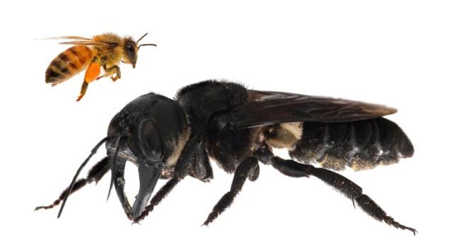 Найдена огромная пчела Уоллеса. Вид этих насекомых считался вымершим (3 фото + видео)