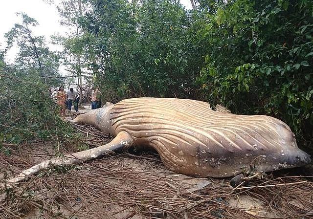 В бразильском лесу нашли 11-метрового горбатого кита (5 фото + видео)