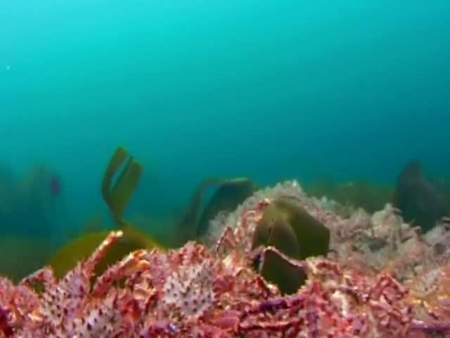 Популяция камчатского краба в Баренцевом море растет угрожающими темпами