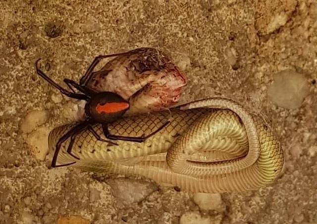 Австралийская битва ядовитого паука и змеи (2 фото)