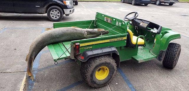 В Новом Орлеане в парке выловили доисторическую рыбу (6 фото)