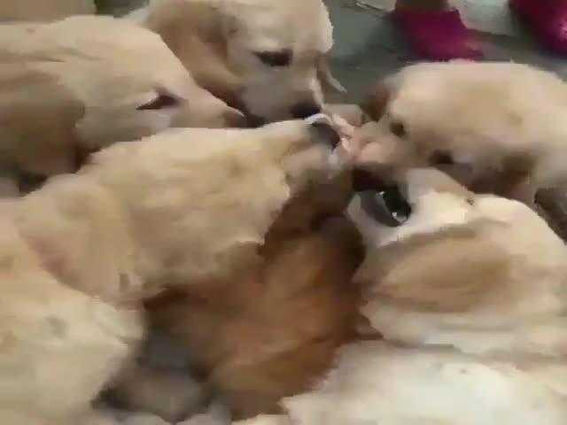 """""""Нападение"""" ретриверов на несчастного котика"""