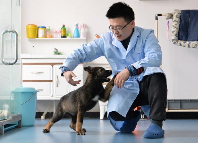 В Китае первый клон полицейской собаки приступил к тренировкам (8 фото)