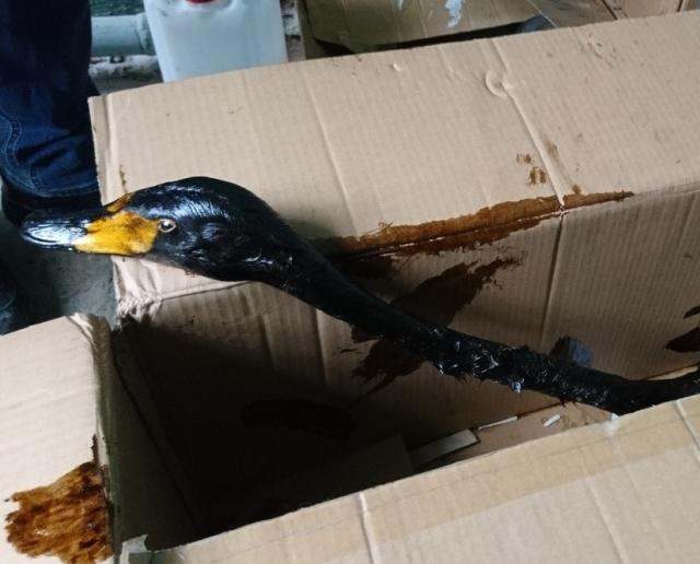 Лебеди, которые попали в беду (5 фото)