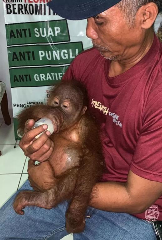 На Бали задержали гражданина РФ, который пытался провезти орангутана в багаже (6 фото)