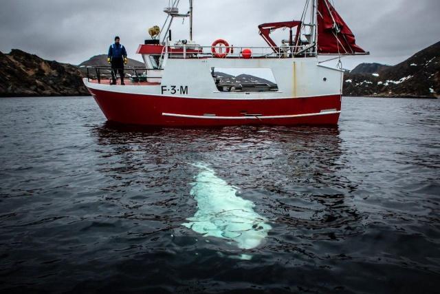 """Норвежские рыбаки сняли с белухи подвес для камеры GoPro с надписью """"оборудование Санкт-Петербурга"""" (7 фото + видео)"""
