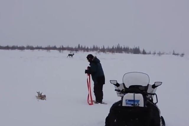 Спасение северного оленя, угодившего в снежную ловушку
