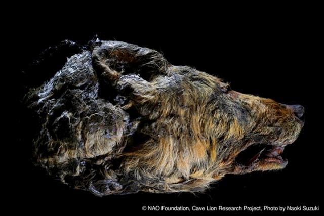 В Сибири нашли голову доисторического волка с целым мозгом (7 фото)