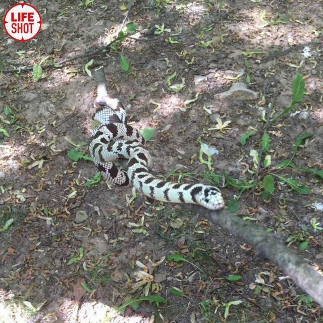 В московском дворе девушка поймала крупную змею (3 фото + видео)