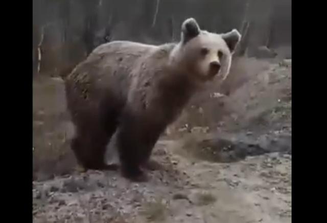 Покормить медведя с рук? Да, без проблем!