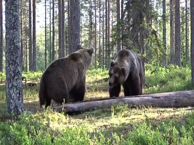 Драка медведей в лесах Финляндии
