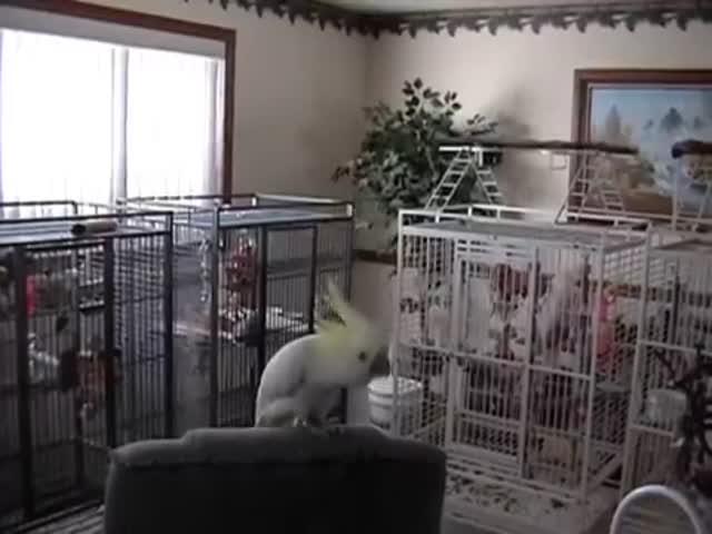 Попугай с отличным чувство ритма