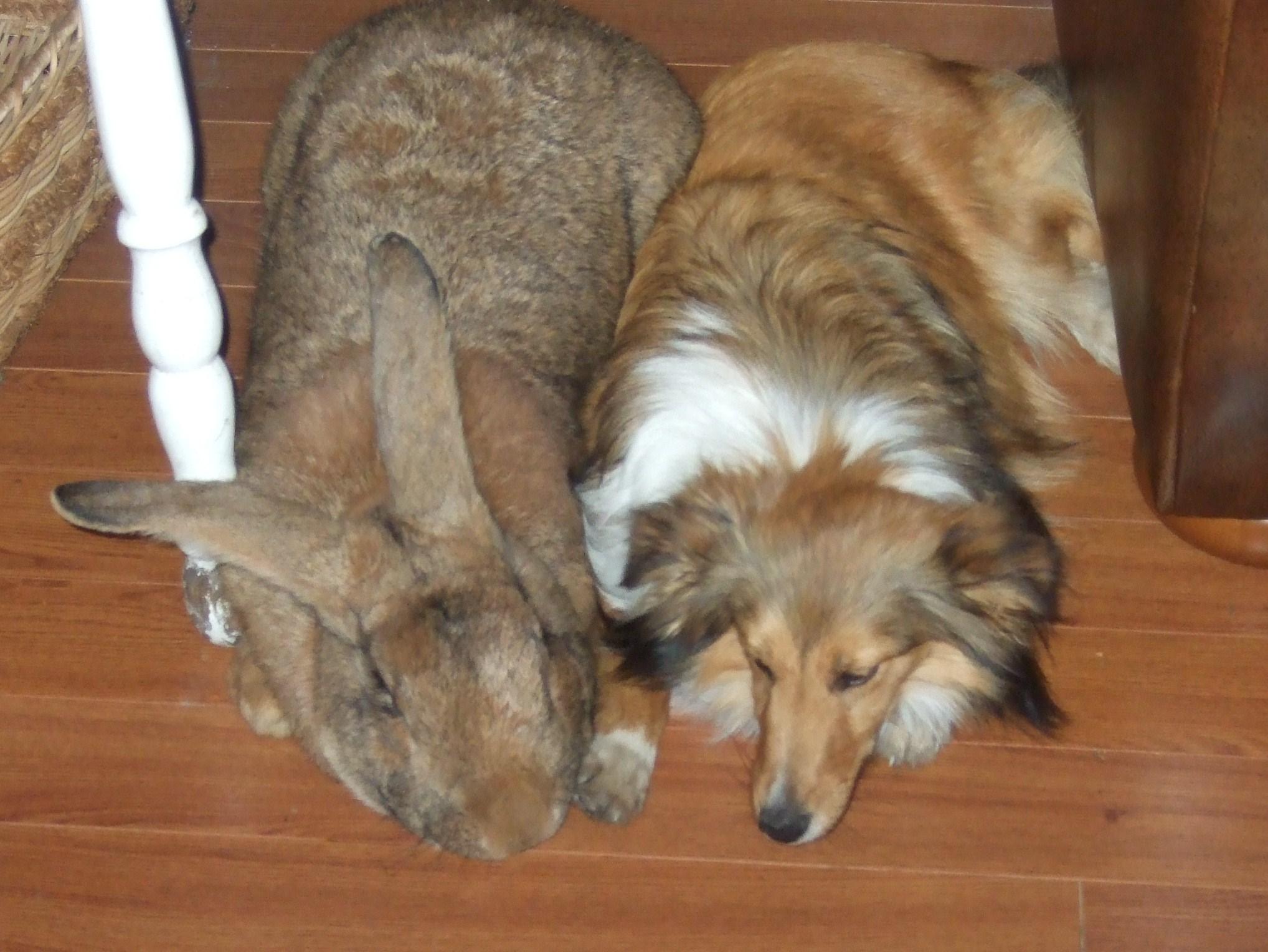 Самый большой кролик в мире 9 фотография