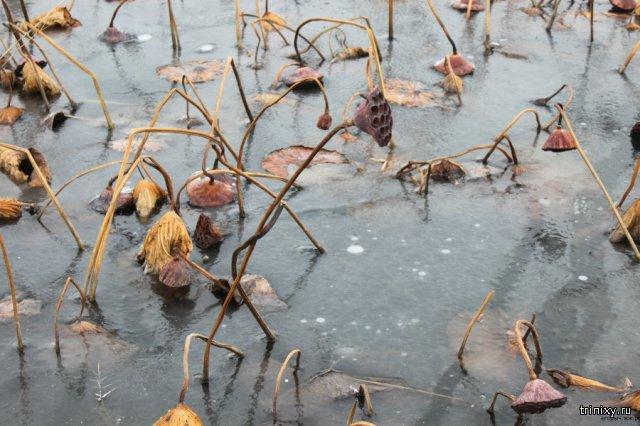 Замерзшие лотосы в поселке Славянка Приморский край