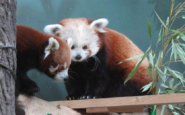 Самец красной панды прибыл в Московский зоопарк