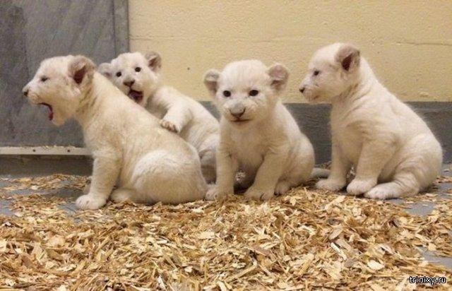 Новорожденные белые львята
