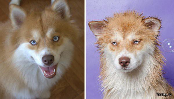 ТОП-10: Собаки до та после купания - сердитые и милые. ФОТО