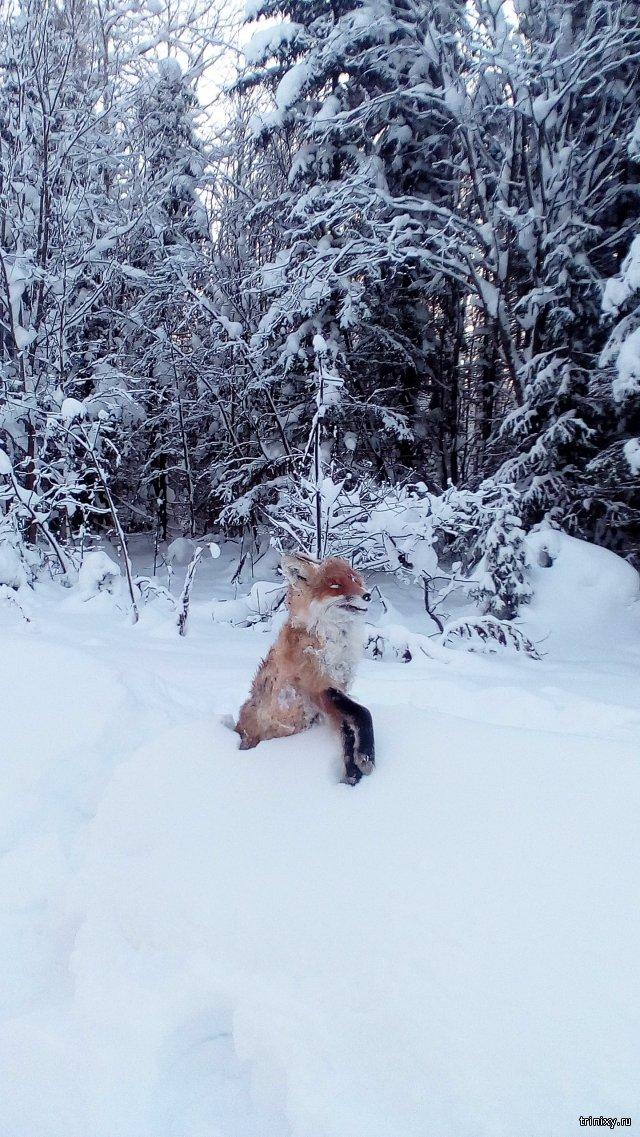 Лиса замерзла - часть 2