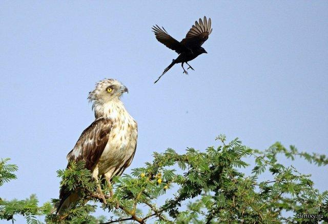 Смелая ворона против орла