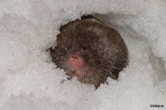 Как под снегом выживают мелкие зверьки и насекомые