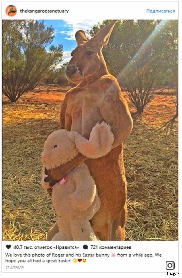 В Австралии поставят памятник прославившемуся мускулатурой кенгуру Роджеру