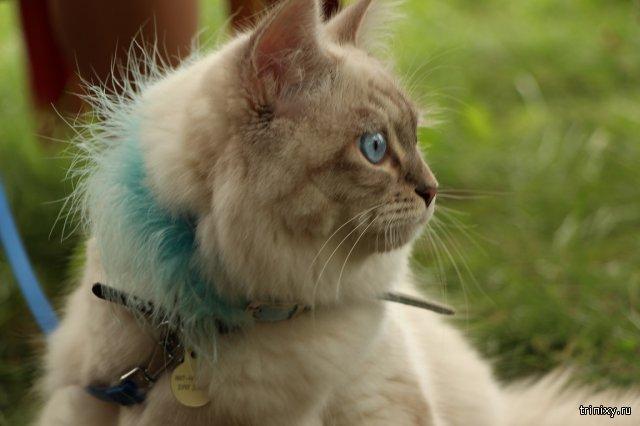 Кот породы Невская маскарадная