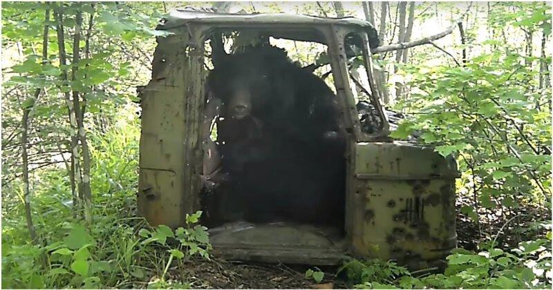 Медведю очень понравилась кабина ГАЗ-66