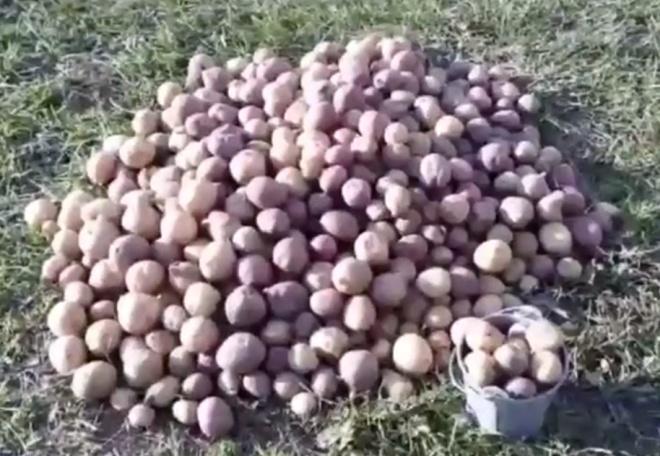 Садовод похвастался невероятным урожаем картофеля
