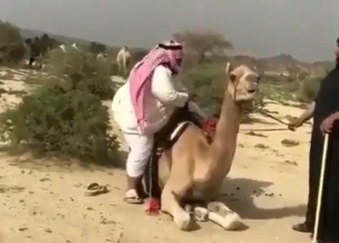 Неудачная попытка прокатиться на верблюде