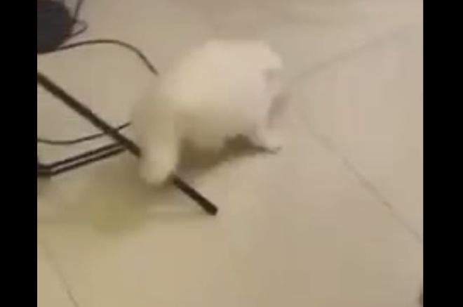 Истерика: кот не узнал своего подстриженного сородича