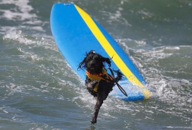 Собаки на досках для сёрфинга