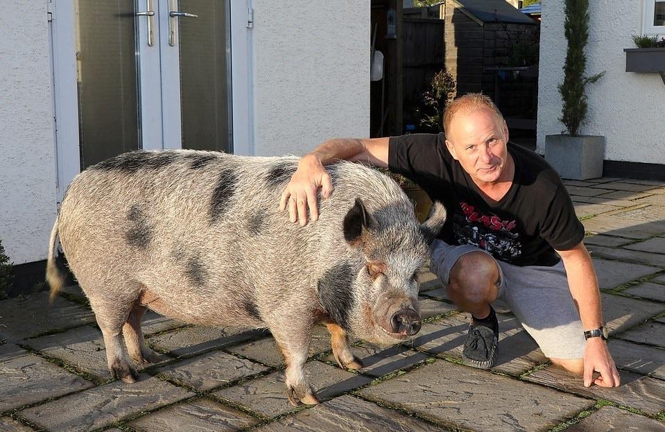 Милая история о том, как мини-пиг стал огромной свиньей и лучшим другом семьи