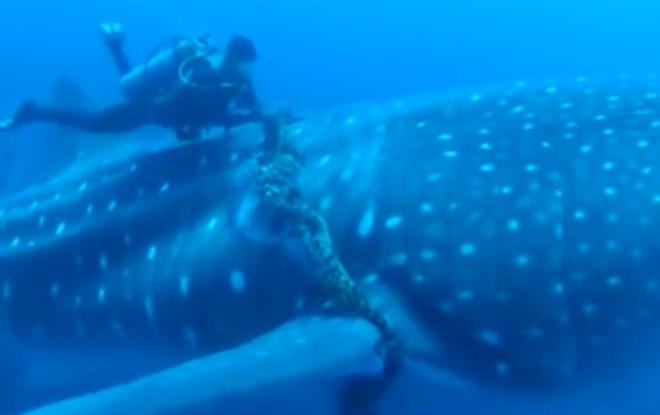 Китовая акула попросила дайверов о помощи