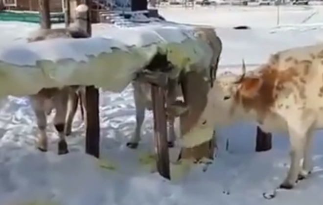 Голод не тетка: коровам понравился вкус стекловаты