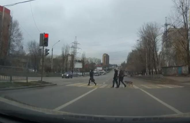 В Воронеже даже собаки соблюдают ПДД, а вот водители - нет