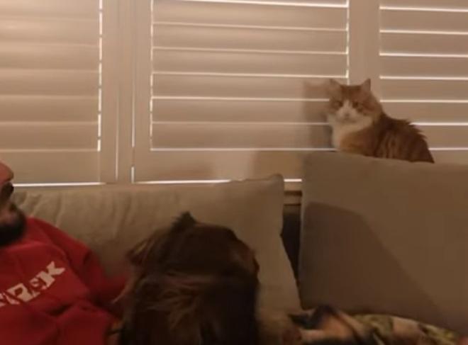 Своенравный кот, доминирующий над своими хозяевами
