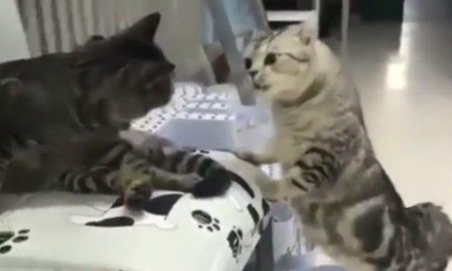 Очень странная реакция на запах другого кота