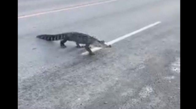 В Монреале горожане увидели крокодила прямо на улице
