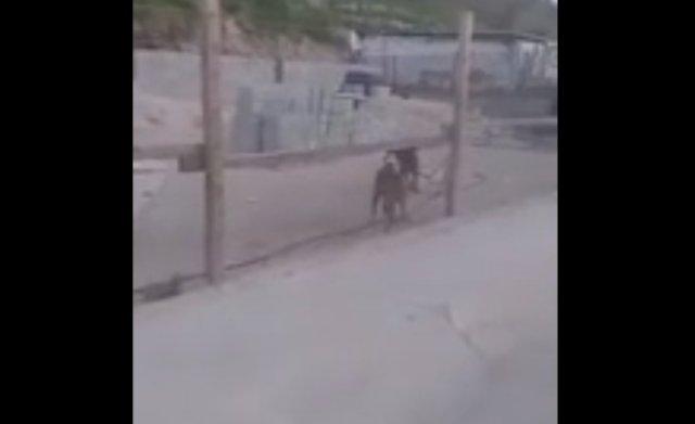 Собака вооружилась лопатой и дала отпор сородичу