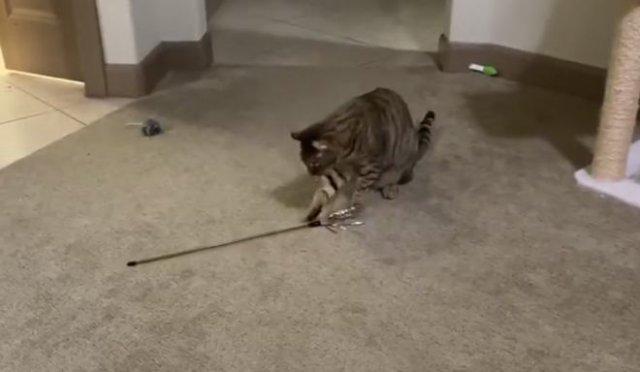 Самодостаточный кот, способный развлекаться самостоятельно