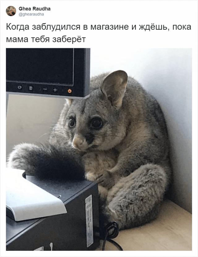 В офис австралийки забрался поссум, который позже стал мемом