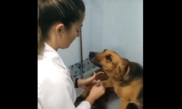Собака, парализованная страхом, на приеме у ветеринара