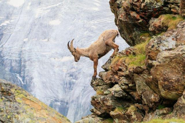 Козлы-альпинисты