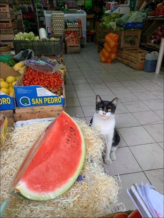 Кот смотрит на арбуз