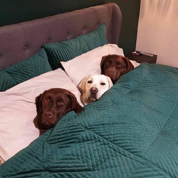 Собаки в постели под одеялом
