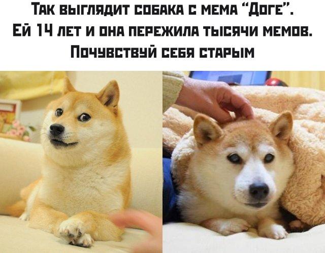 Собака с мемов