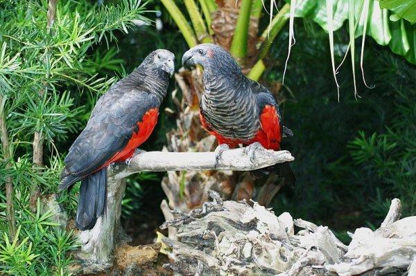 Sas papagáj