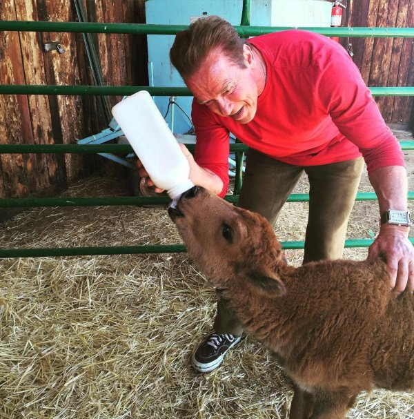 Арнольд Шварценнегер кормит теленка