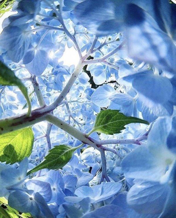 Hortenzia virágzat belül