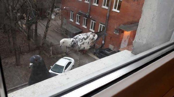 Нашествие голубей-великанов: Начало